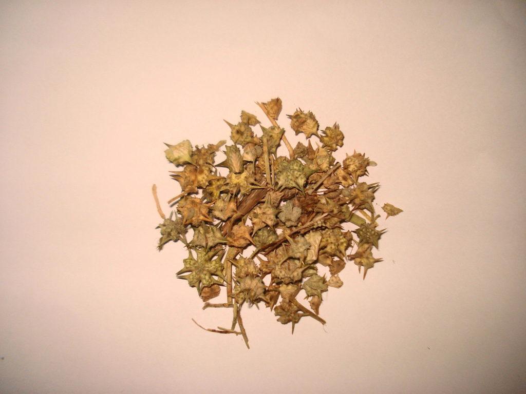 Listy sušeného Kotvičníku zemního