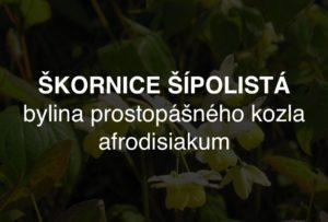 Škornice šípolistá - bylina prostopášného kozla, afrodisiakum z jihovýchodní Asie