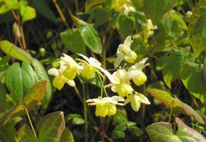 Škornice šípolistá - bylina prostopášného kozla, afrodisiakum