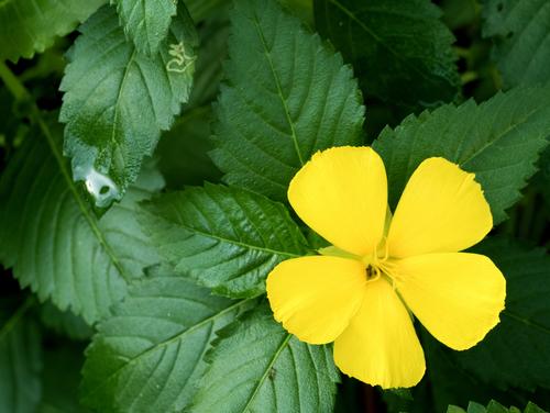 Damiána květ a listy