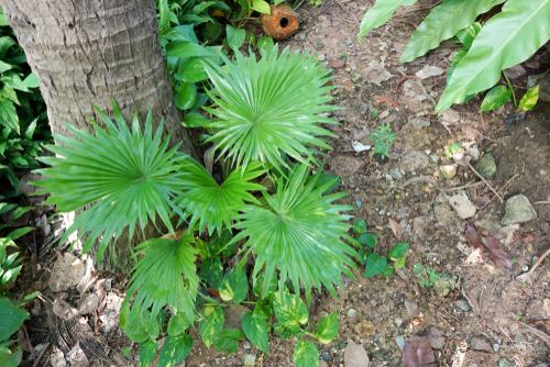 Saw palmetto - rostlina na prostatu