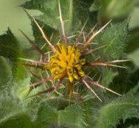Benedikt lékařský - květ